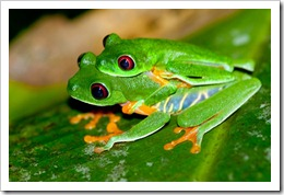 Red-eyed Tree Frogs - Brian Gratwicke
