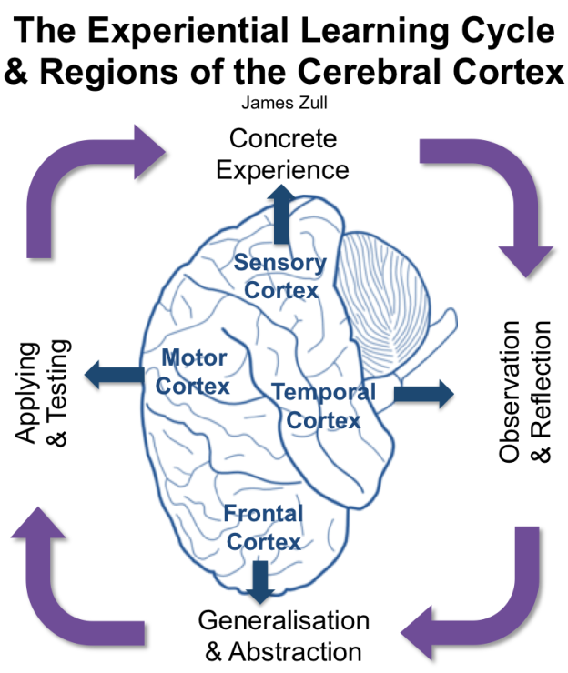 The Experiential Learning Cycle & Regions of the Cerebral Cortex